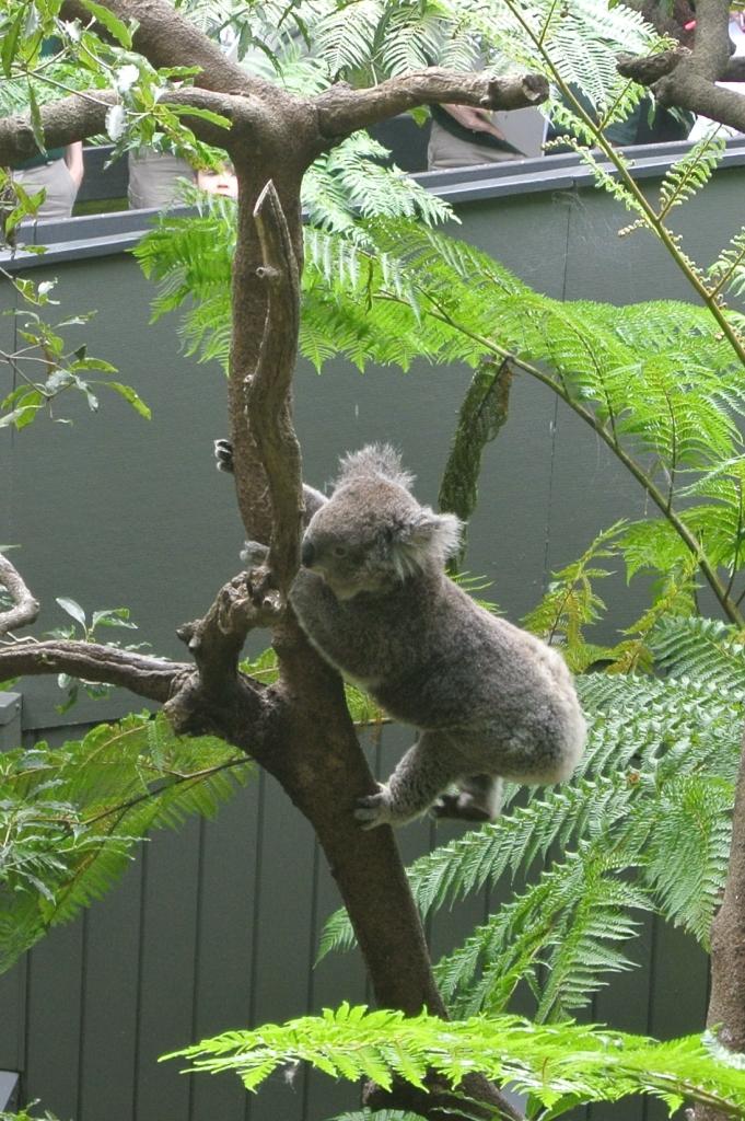 koala ready to jump!
